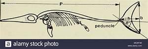 Ichthyosaurs Stock Photos  U0026 Ichthyosaurs Stock Images