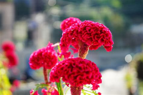 small bathroom ideas celosia flowers offer plumes feathers and blooms