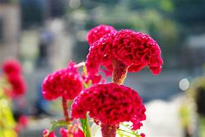 Celosia Flowers Offer Plumes, Feathers and Blooms