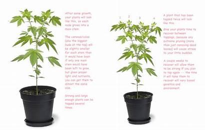 Topping Marijuana Plant Plants Grow Times Technique