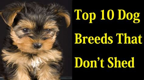 Best For That Don T Shed - top 10 breeds that don t shed