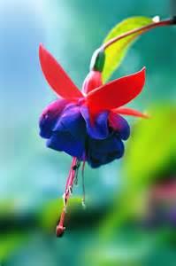Beautiful Fuchsia Flowers