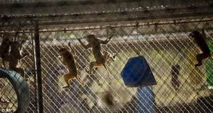 Florida monkey farm Primate Products under investigation ...