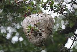 Paper-wasp-nest-on-tre...