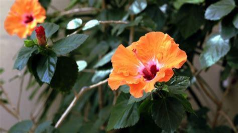 hibiskus im winter jeden hibiskus sicher durch den winter bringen