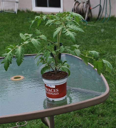 les tomates potager biologique