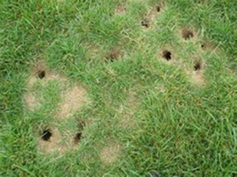 vole holes voles archives how to get rid of voles