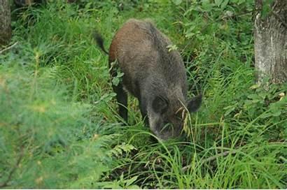 Altamira Boar Wild Hunting