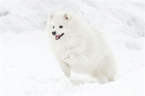 163 best images about japanese spitz on snowball and german spitz