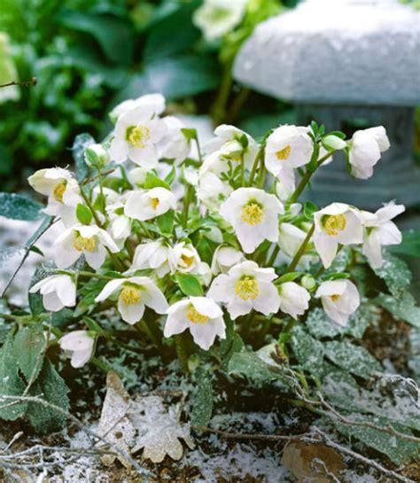 hellebore varieties hellebore plant and flower varieties growing hellebores