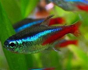 aquarium fishes difference between male and female neon tetra