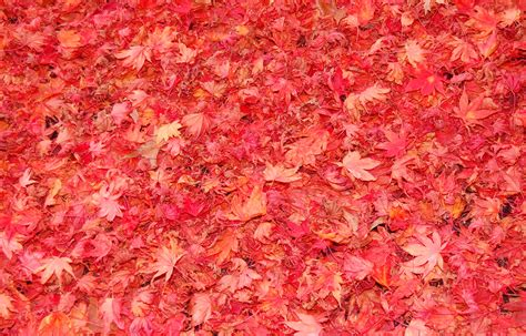 Falling Red Leaves Wallpapers  A Season Of Paradox