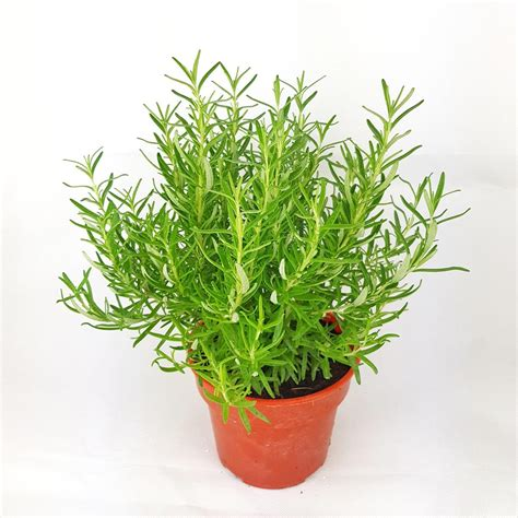 rosemary plant malaysia kitchen herbs  wholesale prices