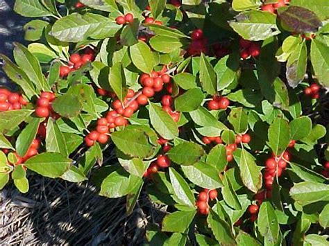 what deciduous tree has berries in winter larger trees and shrubs