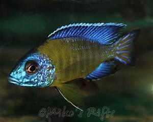 Malawi and Tanganyikan African Rift Valley Cichlids Mike s