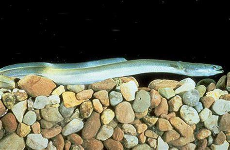virtual aquarium  virginia tech freshwater eels