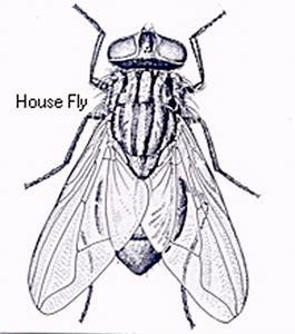 House Fly Elimination, kill and control house flies, filth ...