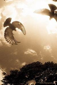 Flying Dove | Photography | Dove tattoos, Mourning dove ...