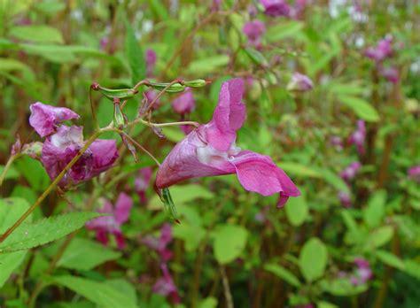 flower not flowering impatiens glandulifera himalaya touch me not ornamental jewelweed go botany