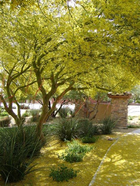 beautiful drought tolerant palo verde tree california