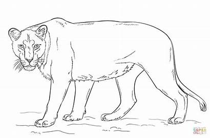 Lioness Coloring Draw Pages Drawing Lion Printable