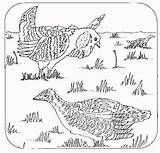 Coloring Prairie Chickens Chooks Window Different sketch template