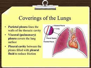 Organs Of Respiration Function Of The Respiratory System