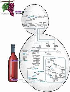 A Schematic Representation Of Carbon Metabolism In Wine