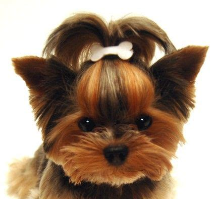 teacup yorkie shedding oh that sweet yorkie chien chiot chien chat