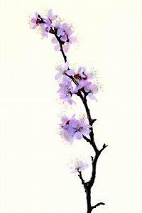 Fleur De Cerisier Signification : signification de la fleur de cerisier du japon et des fleurs ~ Melissatoandfro.com Idées de Décoration