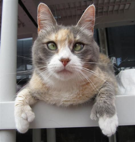 Tiny Pearl Polydacytl Dilute Calico Cat Kitty Love