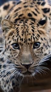 jaguar cat jaguar cat galaxys3 wallpaper cats