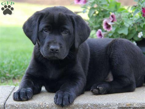 cute labrador retriever puppies pictures  images