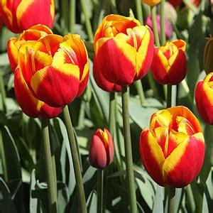 tulip bulbs nurseries australia