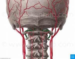 Arteria Vertebralis  Vertebral Artery