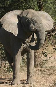 Wildlife Photo of Elephant Standing, front view