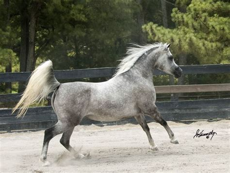 stallion horses arabian horse egyptian stallions grey farms mare stables