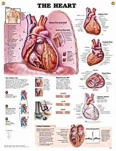 Human anatomy and physiology, Heart anatomy and Anatomy ...
