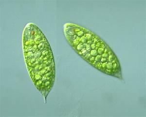 Protist Images  Euglena Magnifica