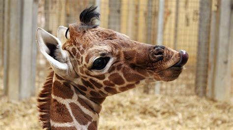 Baby Giraffe Born Just In Time For Mother's Day