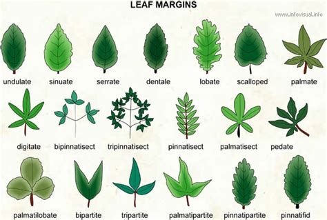 Types Of Leaves  Common Leaves On Trees And Plants The