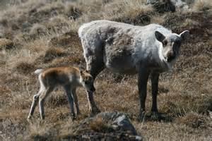 Greenland Caribous Calves