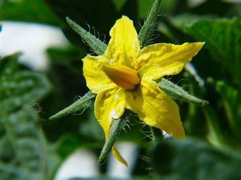 gambar ilmu pertanian morfologi tanaman buah tomat