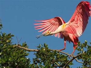 pink, birds, roseate, spoonbill, tropical, exotic, birds, hd