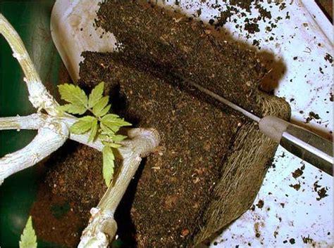 la verte afficher le sujet bonsa 239