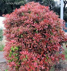 Photinia Fraseri Robusta Compacta : photinia fraseri 39 red robin 39 shrubs amenagement jardin jardins jardinage ~ Buech-reservation.com Haus und Dekorationen