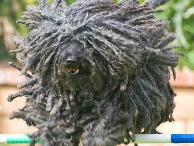 puli dogs puli dog breed info pictures petmd