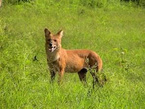 Dhole - Indian Wild Dog.