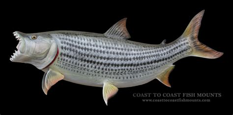 Tigerfish Fish Mount And Fish Replicas