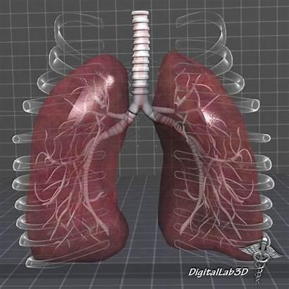 Lungs Anatomy 3d Max External C4d Fbx